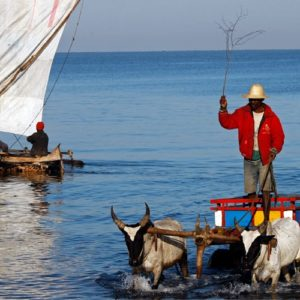 Two zebu pulling cart in the water Madagascar - madagascar small group tours