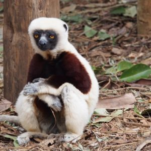 Coquerel Sifaka lemur sitting under a tree in Madagascar