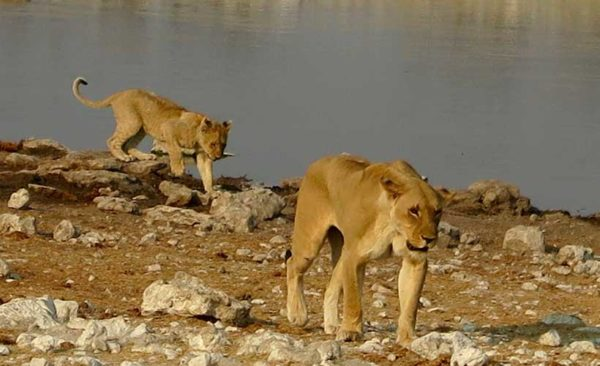 Botswana-Lions-by-waters-edge