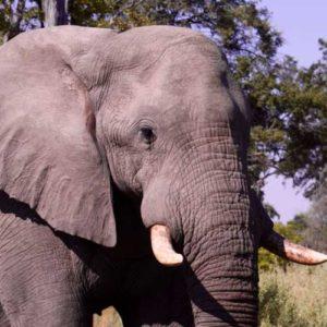 Up close to elephant in Botswana