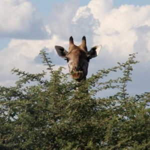 Giraffe peaking over tall bush