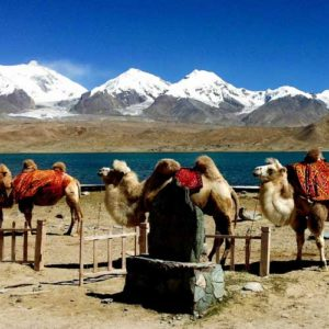 Camels at Karakuli Lake with snow capped mountains behind