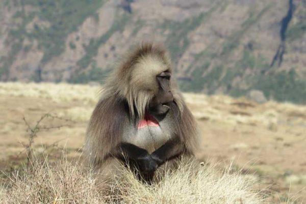 Ethiopia-simien-mountains-gelada-baboon