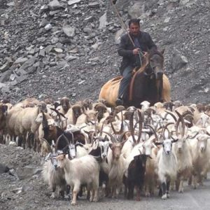 Shepherd on horse back with his herd of sheep and goats