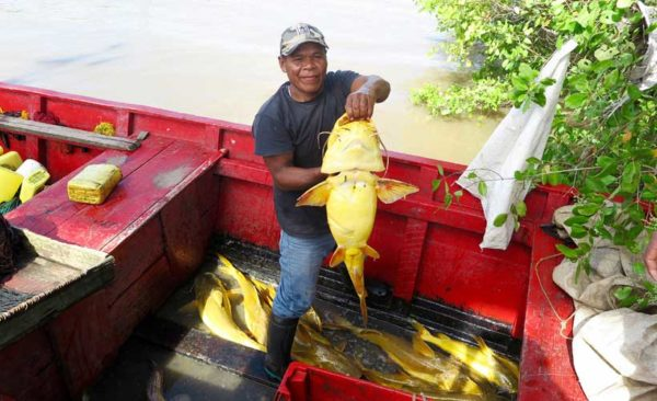 Guyana-yellow-fish