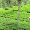 India-Tea-picking-Southern-India