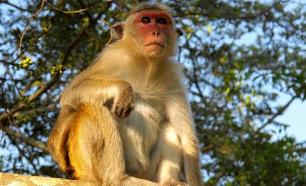 India-macaque-monkey-southern-india
