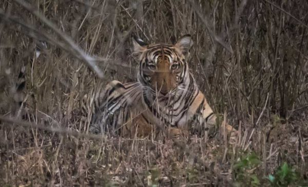 India-southern-india-tiger