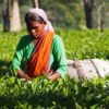 India-tea-picking-Assam
