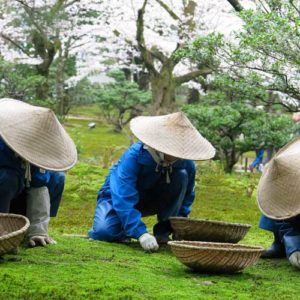 Gardeners wearing Japanese coolie straw bamboo hats