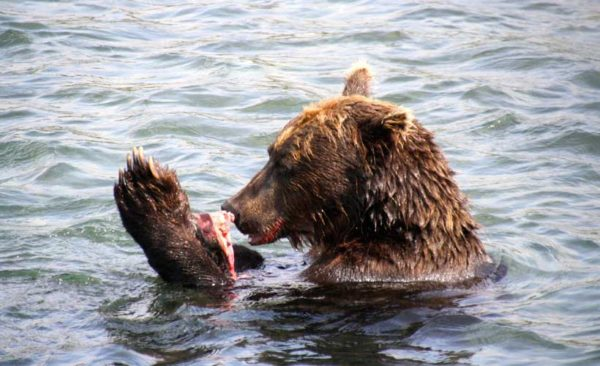 Find this brown bear on your private Kamchatka tours