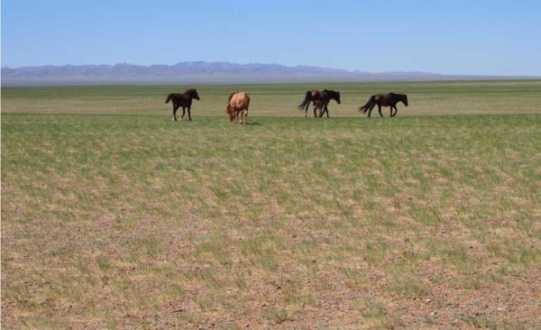 Mongolian steppe with horses roaming