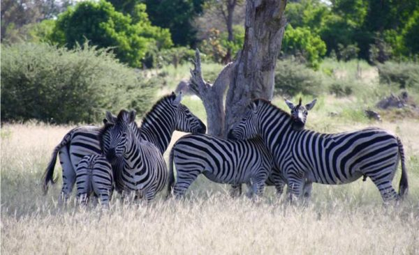 Namibia-Zebras-huddled-under-tree-jpg