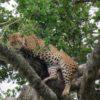 Sri-Lanka-Leopard-up-tree-Yala