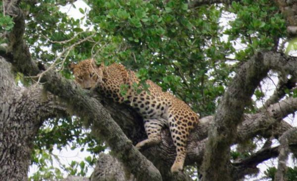 Sri-Lanka-Leopard-up-tree-Yala