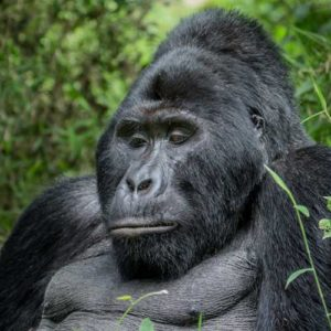 Silverback gorilla on Uganda safari tours