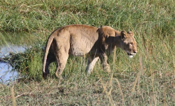 botswana-lioness-by-water