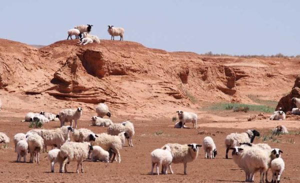 mongolia-sheep-graizing-in-the-dessert