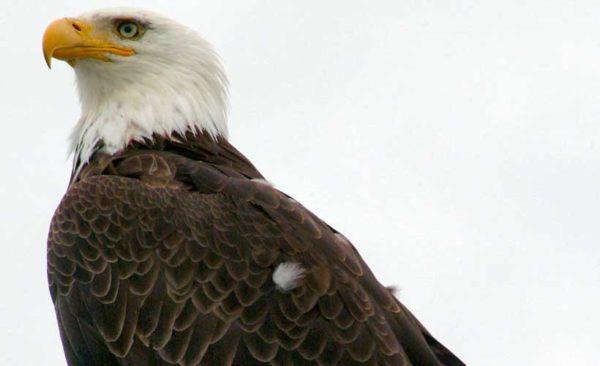 Alaska American bald Eagle