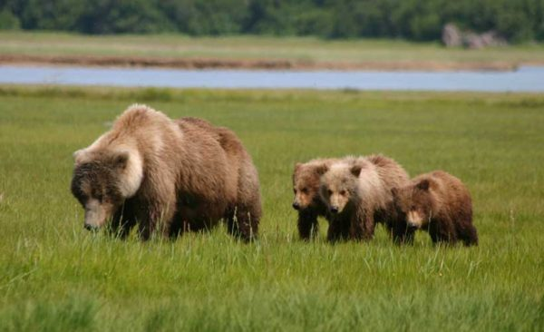Alaska-Brown-Bear-family