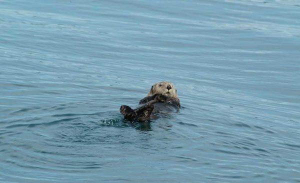 Alaska-Otter-Resting