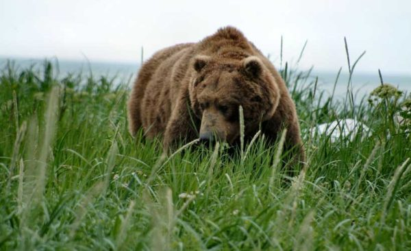 Alaska- brown-bear-Katmai