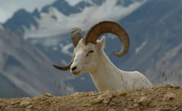 Alaskan thin-horn sheep