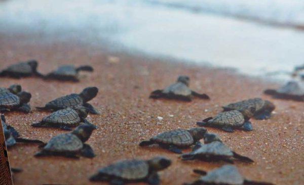 Brazil-baby-turtles