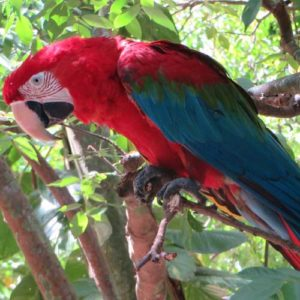 Red macaw in Brazil