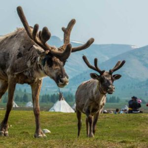 Two reindeer with antlers at Lake Hovsgol