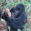 Uganda-silverback-gorilla