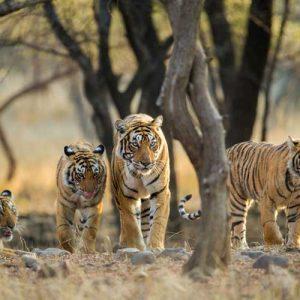 Tiger tours in India - Royal Bengal Tigers