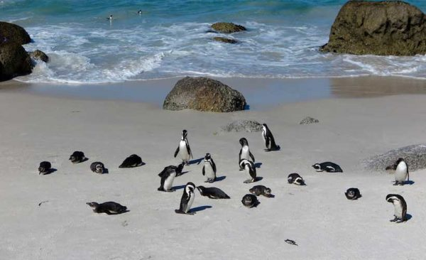 South-Africa-Cape-Town-penguins-Simons-Town