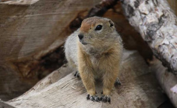 Kamchatka-squirrel