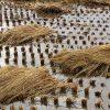 South-Korea-rice-fields