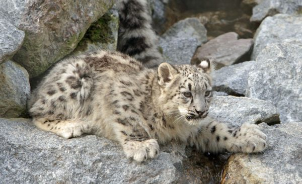 Snow-leopard-cub-Ladakh-India