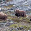 Greenland-Ivittuut-Oxen