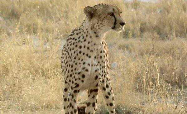 See a Chettah in the wild - Small Group tours to Africa