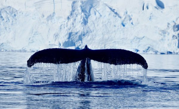 Antarctica Hump Back Whale
