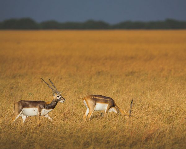 Gujarat-Wildlife-Black-Buck-Velavadar