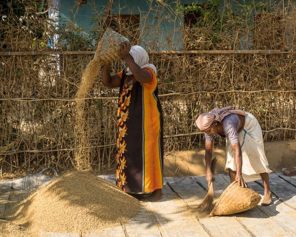 Kolkata women threshing grain