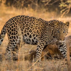 Leopard spotting on safari in india
