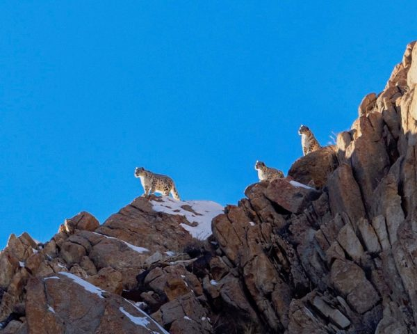 Snow-leopards-on-cliff-top