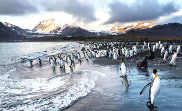 King Penguins on the beach in South Georgia
