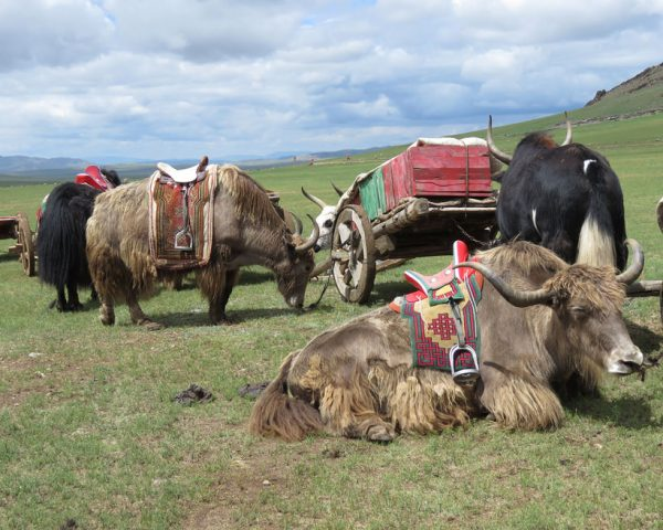 Domesticated yaks in Mongolia