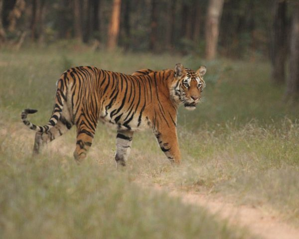 Tiger-spotting-at-Pench-National-Park