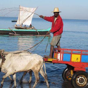 Zebu cart Madagascar