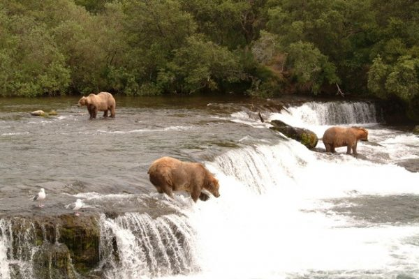 Alaskan brown bears catching salmon