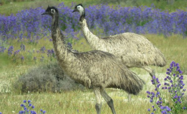 Emus in the field Broken Hill