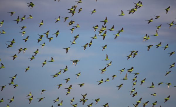 A,Large,Flock,Of,Wild,Budgerigar,Parrots,Over,A,Water